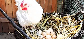 Studio inglese, da galline Ogm, uova con proteine umane per fabbricare farmaci