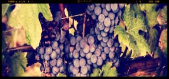 Ricerca, dalle vinacce di Cannonau nutraceutici benefici per la salute