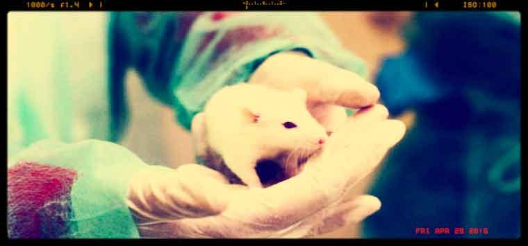 Ricerca, troppi limiti ai test su animali, procedura di infrazione Ue contro l'Italia